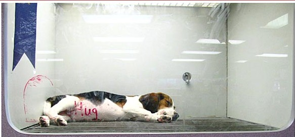 petland-pewaukee-beagle